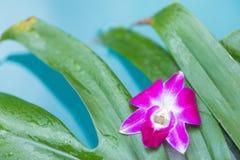 Предпосылка цветка орхидеи Frangipani тропическая около голубого заплывания Стоковая Фотография