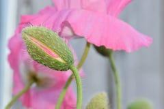 Предпосылка цветка пинка бутона мака расплывчатая Стоковые Фото
