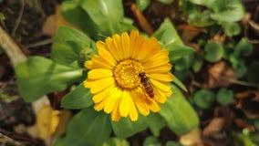 Предпосылка цветка Calendula Стоковое Изображение RF