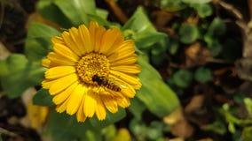 Предпосылка цветка Calendula Стоковое Изображение