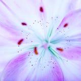Предпосылка цветка Lilly Стоковая Фотография RF