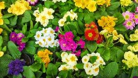 Предпосылка цветков пестротканого primula vulgaris Стоковые Изображения