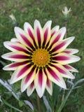 Предпосылка цветков Gazania зацветая Стоковые Фото