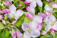 предпосылка яблока цветет пинк стоковые фотографии rf