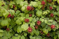 Предпосылка ягоды Стоковые Изображения