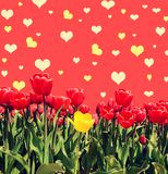 Предпосылка Abstrakt с тюльпанами для приветствовать с счастливым Valent Стоковое Изображение RF
