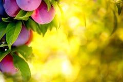Предпосылка bokeh сада слив плодоовощ Сад слив в солнечном дне Селективный фокус, космос экземпляра Естественная концепция Стоковые Изображения