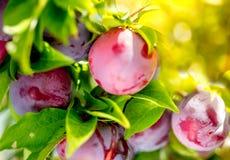 Предпосылка bokeh сада слив плодоовощ Сад слив в солнечном дне Селективный фокус, космос экземпляра Естественная концепция Стоковое Изображение