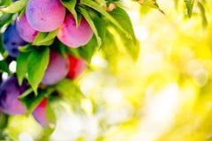 Предпосылка bokeh сада слив плодоовощ Сад слив в солнечном дне Селективный фокус, космос экземпляра Естественная концепция Стоковая Фотография