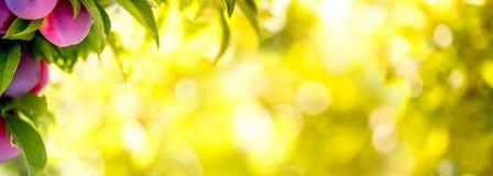 Предпосылка bokeh сада слив плодоовощ Сад слив в солнечном дне Селективный фокус, космос экземпляра Естественная концепция знамен Стоковое Изображение RF