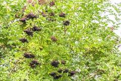 Предпосылка busch Elderberry стоковые изображения rf
