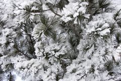 Предпосылка coniferous ветвей Стоковое Изображение RF