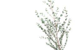 Предпосылка Minimalistic флористическая зеленого евкалипта выходит взгляд сверху плоский стиль положения Стоковые Фото