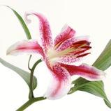 предпосылки белизна lilly Стоковая Фотография