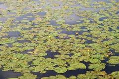 предпосылки пусковая площадка lilly Стоковая Фотография RF