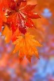 предпосылки фокуса листьев красный цвет вне Стоковая Фотография RF