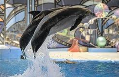 Представление дельфинов в dolphinariums Стоковая Фотография