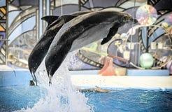 Представление дельфинов в dolphinariums Стоковые Фотографии RF