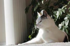представление киски кота величественное Стоковая Фотография