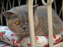 Представление кота shorthair родословной великобританское стоковая фотография