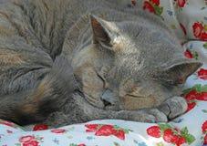 Представление кота shorthair родословной великобританское стоковое изображение rf
