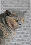 Представление кота shorthair родословной великобританское стоковые изображения rf