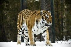 Представление тигра Бенгалии на красивый ландшафт зимы Большой pic тигра Стоковые Фото