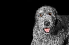 Представление языка собаки ирландского wolfhound маша изолированное на черноте стоковое изображение rf