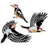 3 представления европейского среднего woodpecker Стоковые Изображения RF
