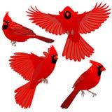 4 представления кардинальной птицы Стоковые Изображения RF