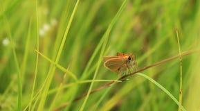 Представления малые бабочки на солому Стоковая Фотография RF