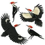 4 представления woodpecker pileated американцем Стоковые Фото