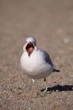 представленное счет кольцо чайки зевая Стоковое фото RF