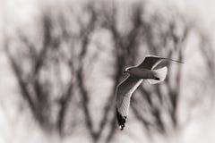 представленное счет кольцо чайки стоковые фотографии rf