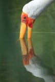 представленный счет желтый цвет аиста Стоковое фото RF