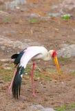 представленный счет желтый цвет аиста mycteria ibis Стоковые Фотографии RF