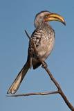представленный счет желтый цвет hornbill южный Стоковая Фотография