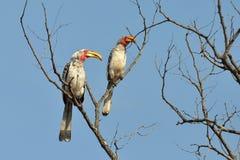 представленный счет желтый цвет np kruger hornbills южный Стоковое фото RF