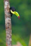 представленный счет киль toucan Стоковые Фото