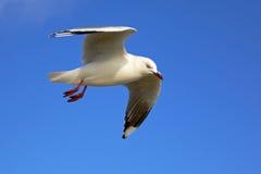 представленный счет красный цвет чайки Стоковая Фотография RF
