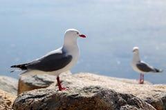 представленный счет красный цвет чайки Стоковое фото RF