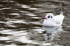представленный счет красный цвет чайки Стоковое Фото