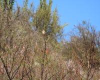 представленный счет красный цвет quelea стоковая фотография