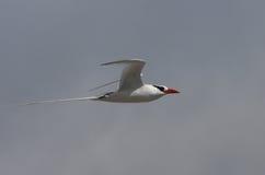 представленный счет тропик красного цвета galapagos полета птицы Стоковые Фотографии RF