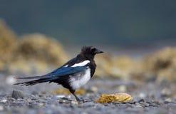 представленный счет черный magpie Стоковое Изображение