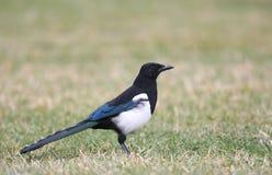 представленный счет черный magpie Стоковое Фото