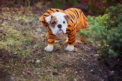 Представлять меха английско-французского бульдога щенка красный белый сидит для камеры в одичалом лесе нося вскользь одежды Милая Стоковое Изображение