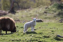 Представлять овечку около Kilbraur, Шотландия Стоковое Изображение RF