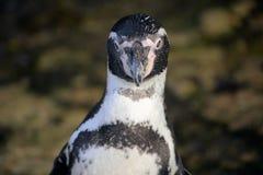 представлять пингвина стоковые фото