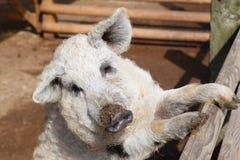 Представлять свинью Стоковое фото RF